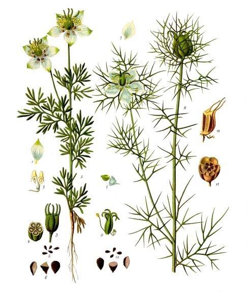 Franz Eugen Köhler, Köhler's Medizinal-Pflanzen Domena publiczna