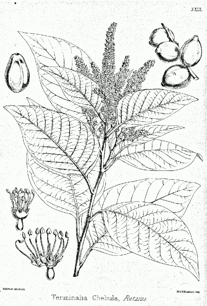 fot. tab. 29 of D. Brandis, Illustrations of the Forest Flora of North-West and Central India, 1874 Terminalia chebola by Kurt Stübe public domain