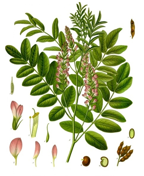 fot. Franz Eugen Köhler, Köhler's Medizinal-Pflanzen (List of Koehler Images) [Public domain], via Wikimedia Commons