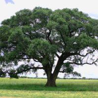 drzewo marula