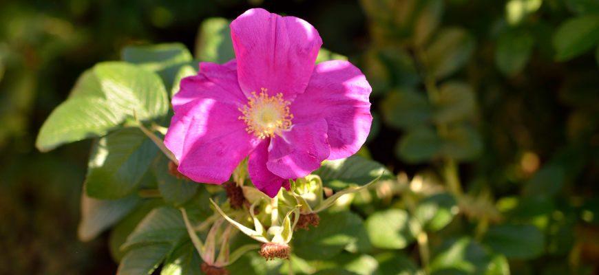 Olejek z dzikiej róży w kosmetyce