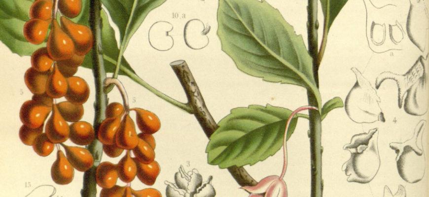 Cytryniec chiński w kosmetyce