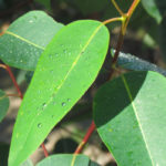 Olejek eukaliptusowy - własciwości